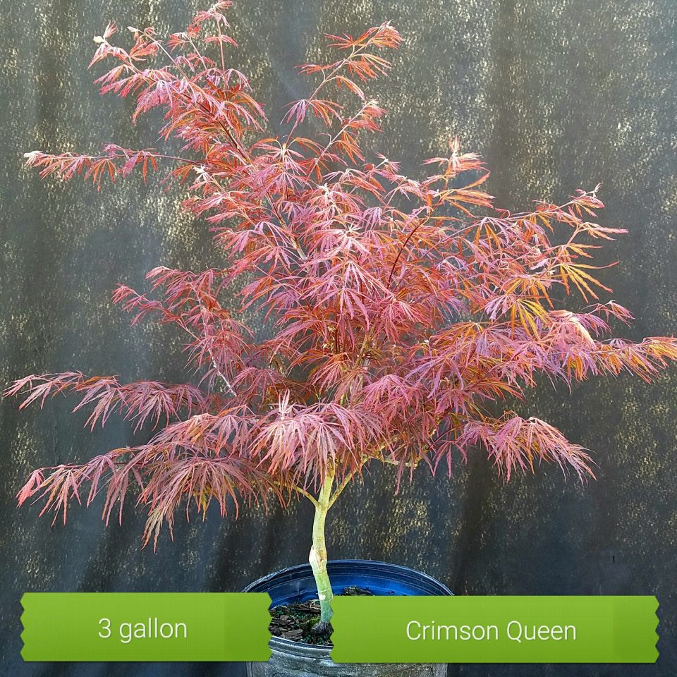 Crimson Queen 3gal