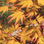 Daidai haru Japanese maple