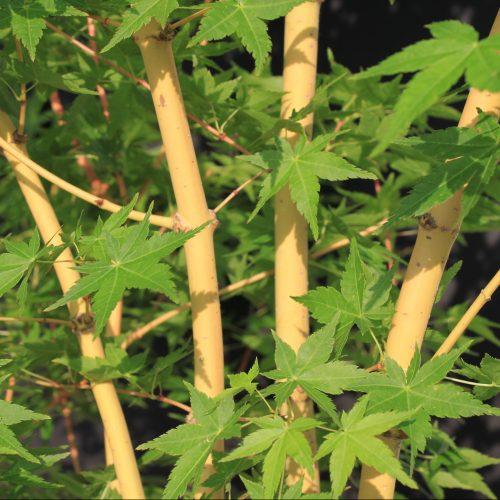Bihou Golden Bark Maple