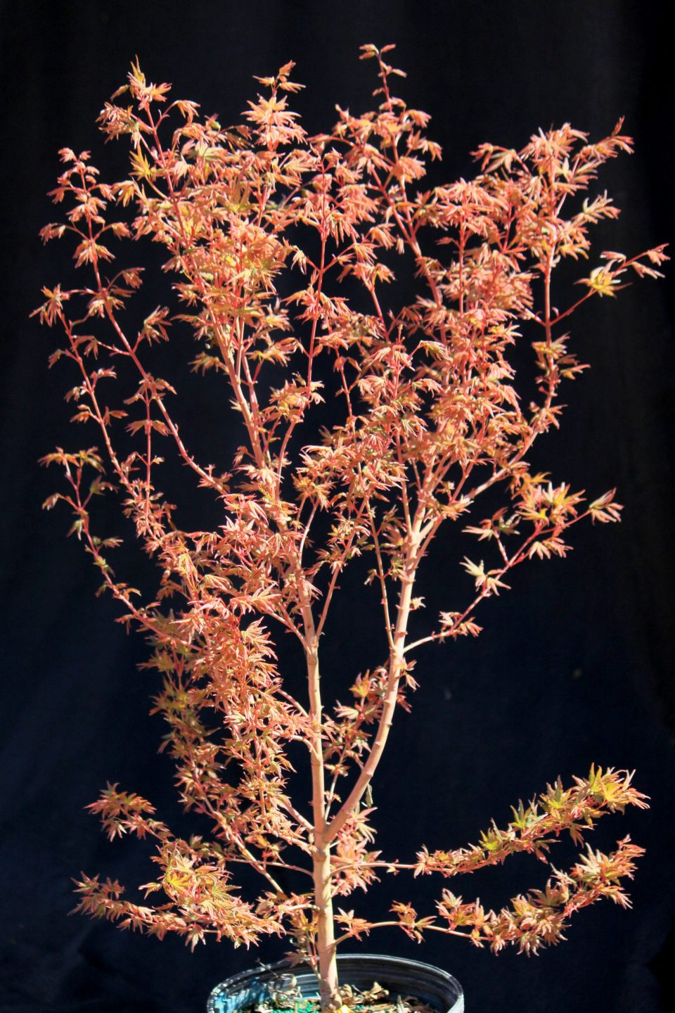 Radiant™ Japanese Maple