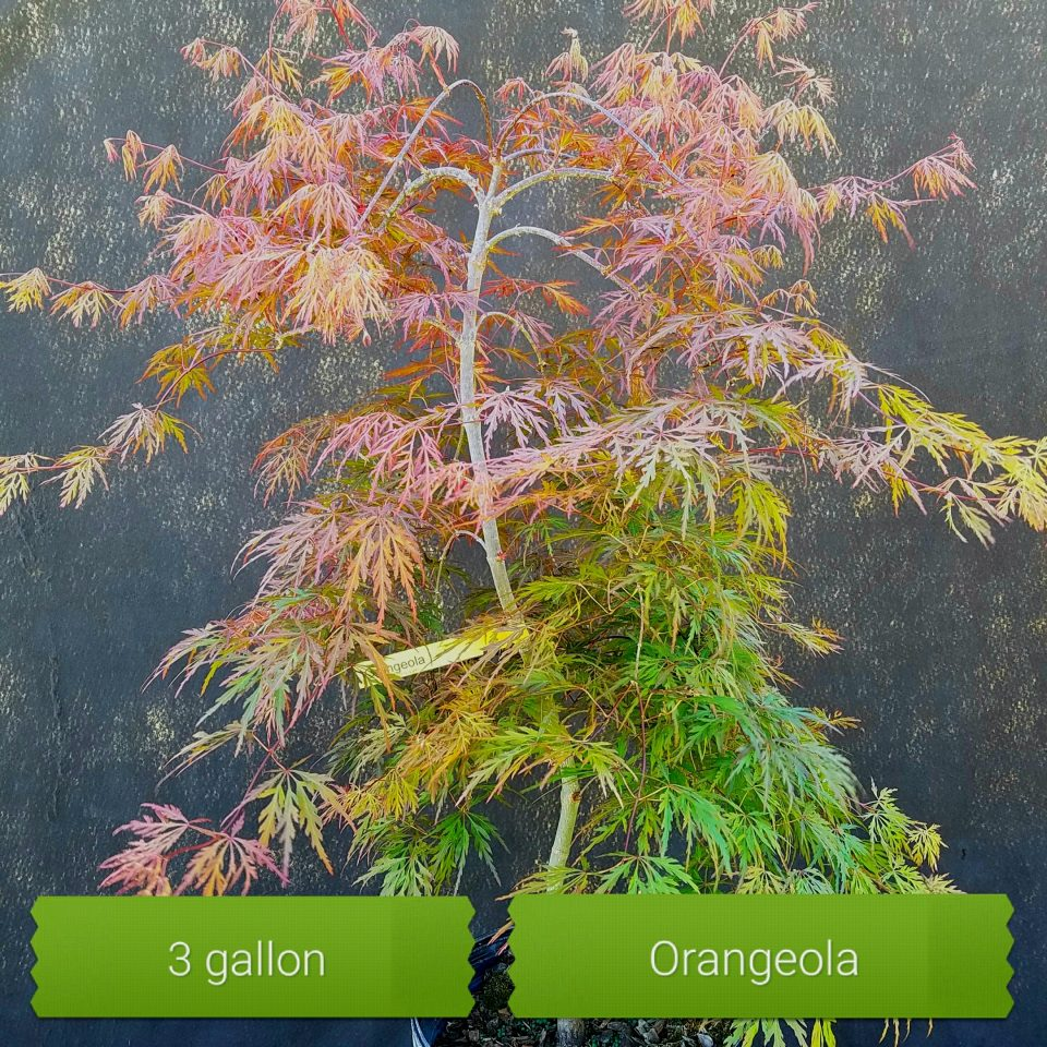 Orangeola 3gal