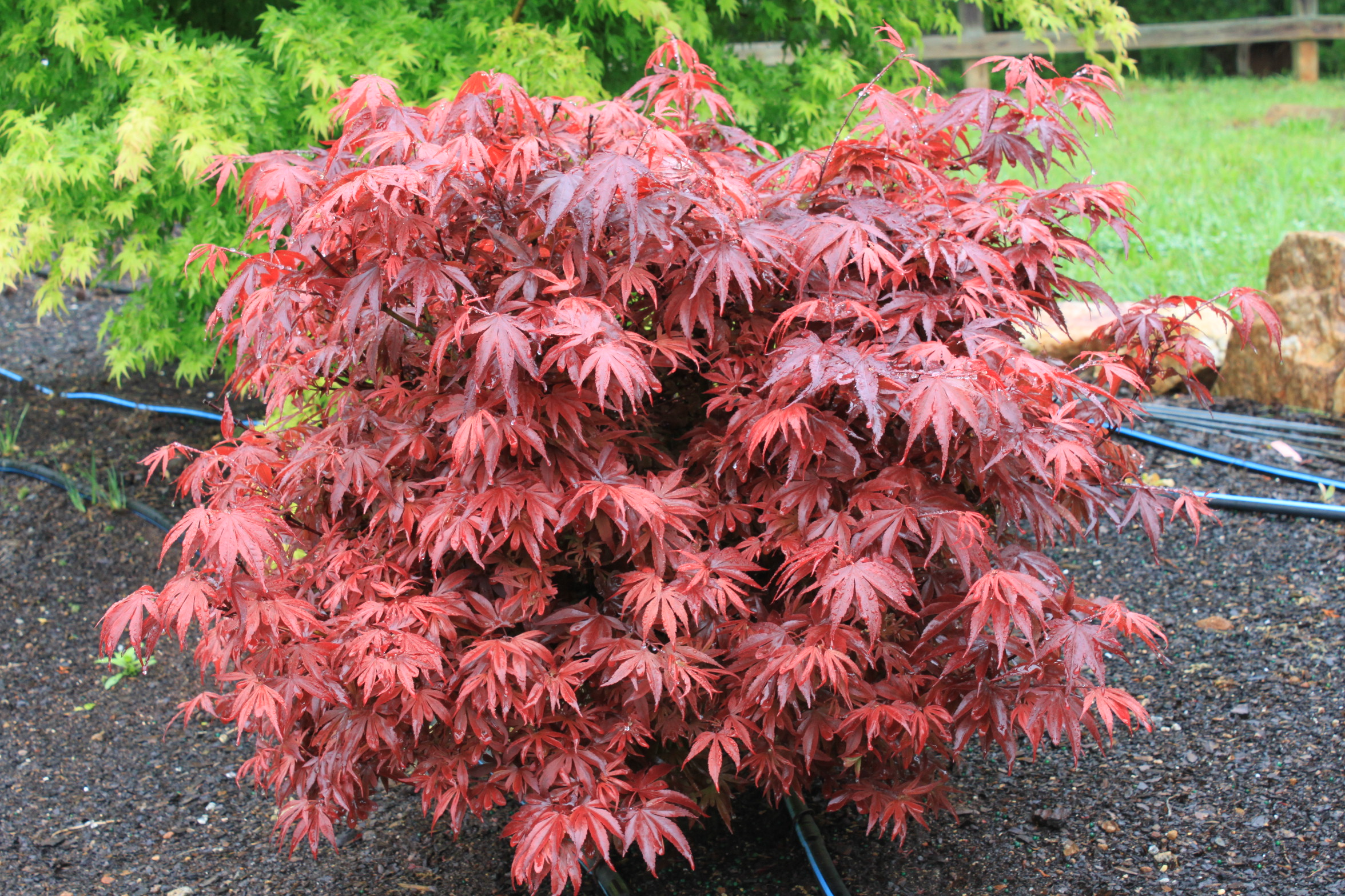 Japanese maple mature size, nanny sex stories