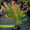Baton Rouge Dwarf Coral Bark Maple 3 gallon size