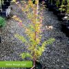 Baton Rouge Dwarf Coral Bark Maple 2 gallon size
