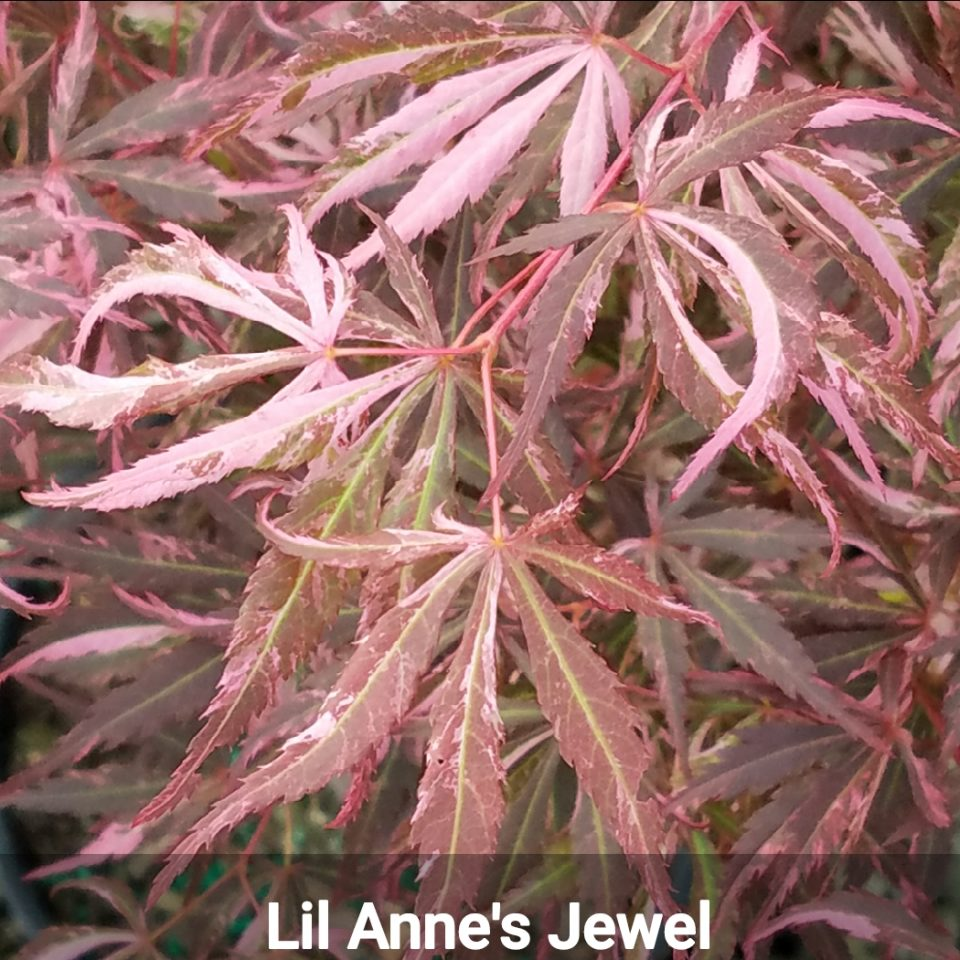 Lil Anne's Jewel Japanese maple