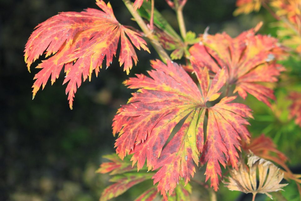 Dancing Peacock Fullmoon Maple For Sale At Garden Design Nursery
