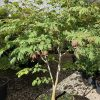Dancing Peacock Fullmoon Japanese maple