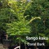 Sango kaku Coral Bark