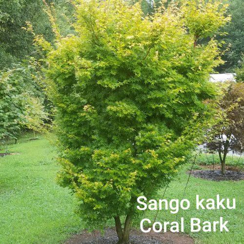 Sango kaku Coral Bark Maple