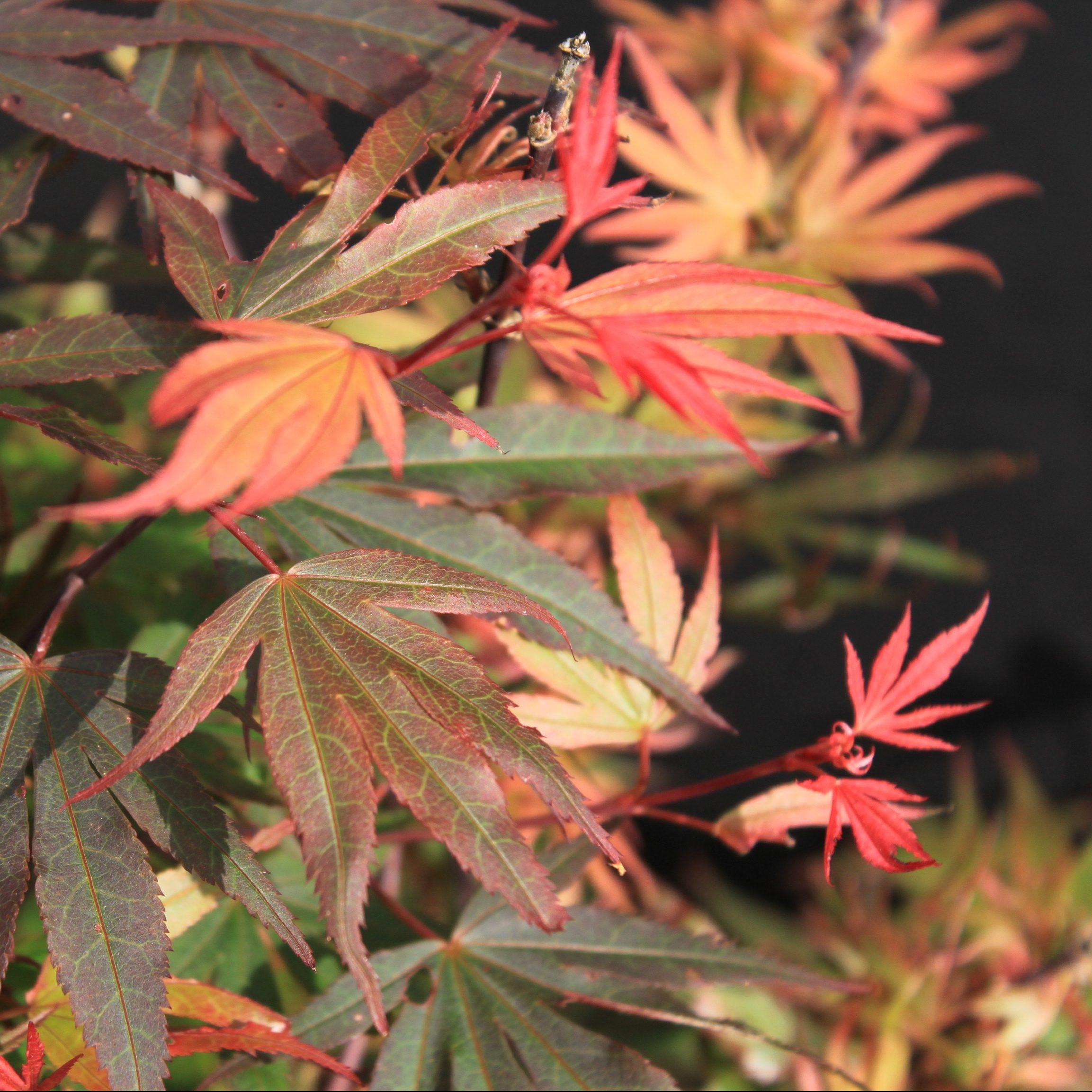 Kandy Kitchen Dwarf Japanese Maple For Sale By Garden Design Nursery