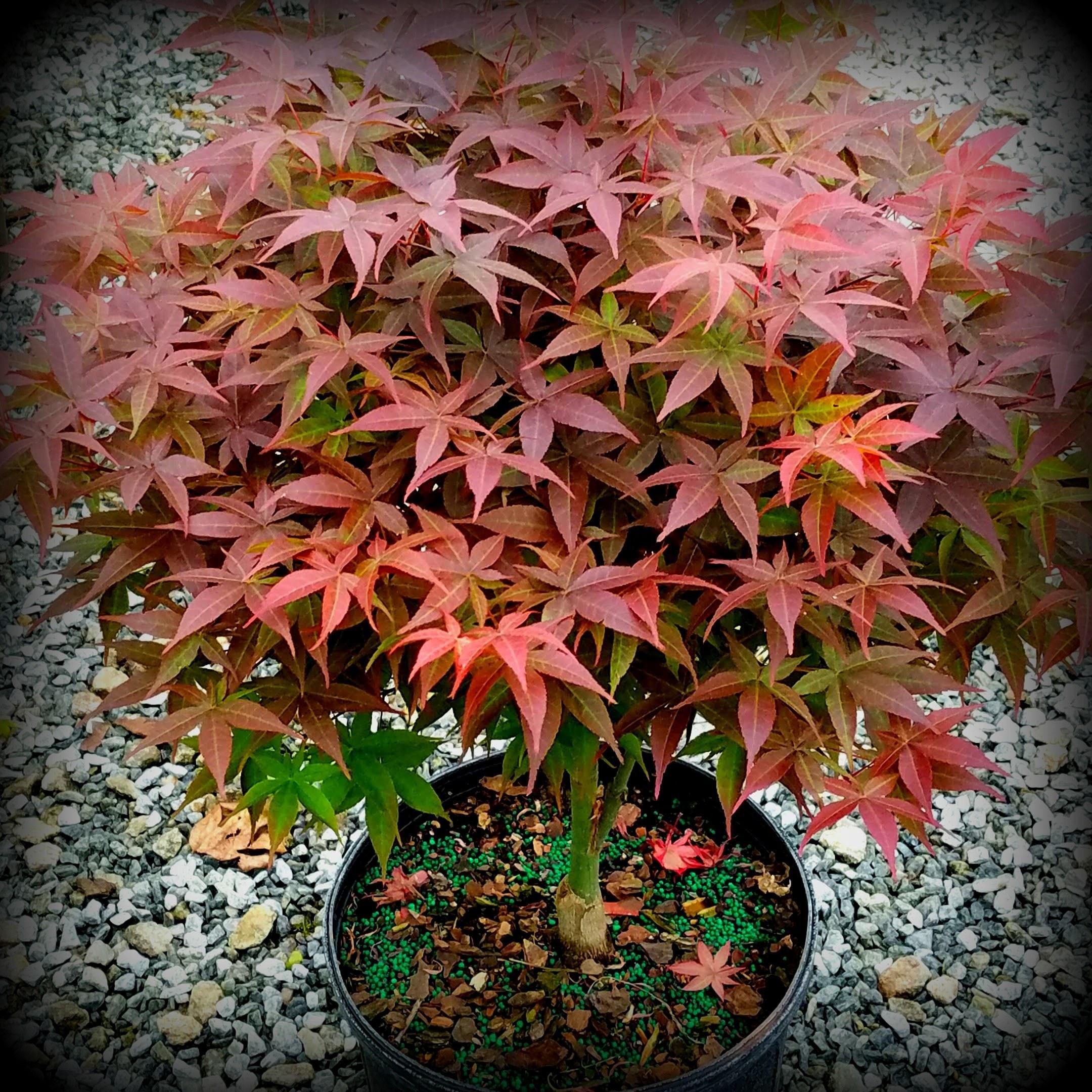 Rhode Island Red Dwarf Maple For Sale By Garden Design Nursery