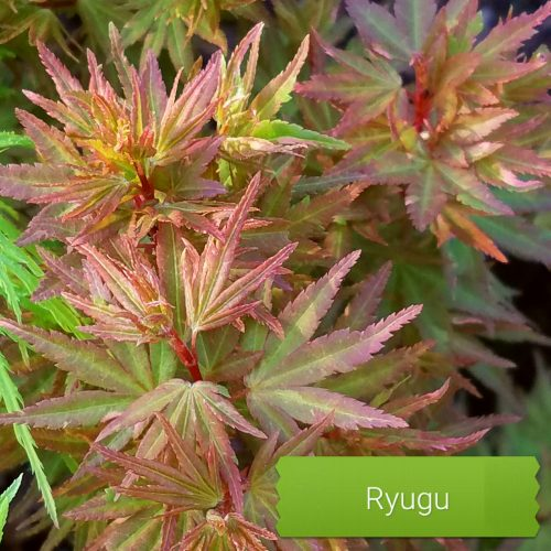 Ryugu Dwarf Japanese maple