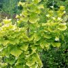 Snow Cloud Variegated Ginkgo